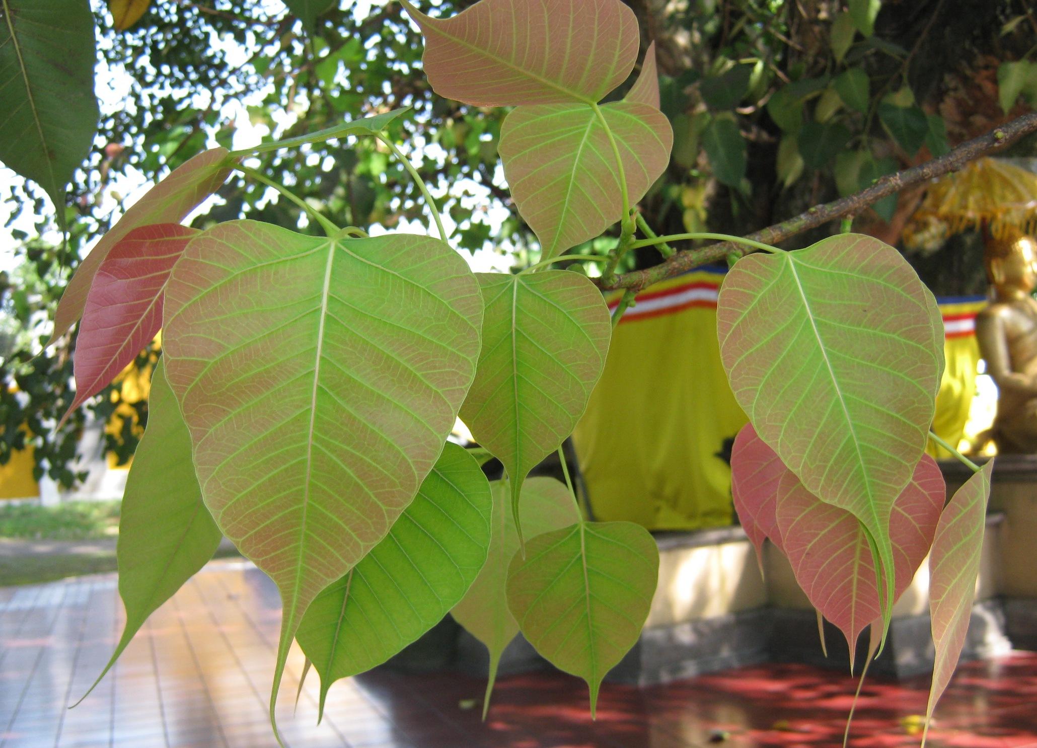 Image result for makna pohon Bodhi dalam agama buddha